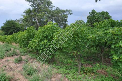 Jatropha Trees
