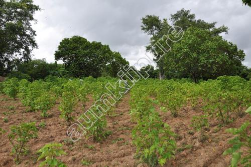 Cultivation of Jatropha
