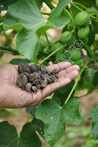 Jatropha fruits and seeds