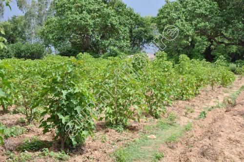 Jatrapha Planting